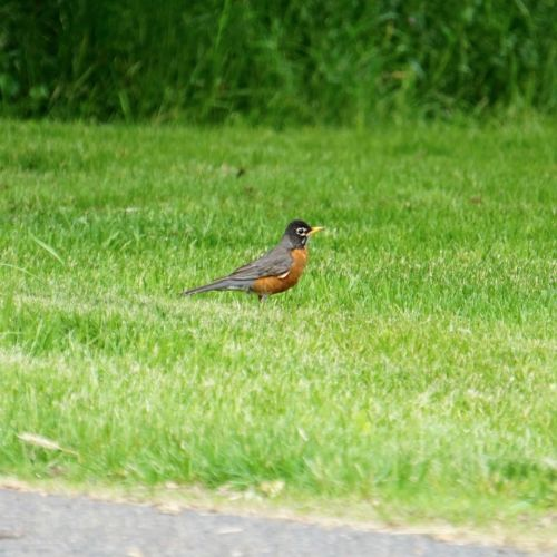There was always at least one Robin darting about in the grass near the house.