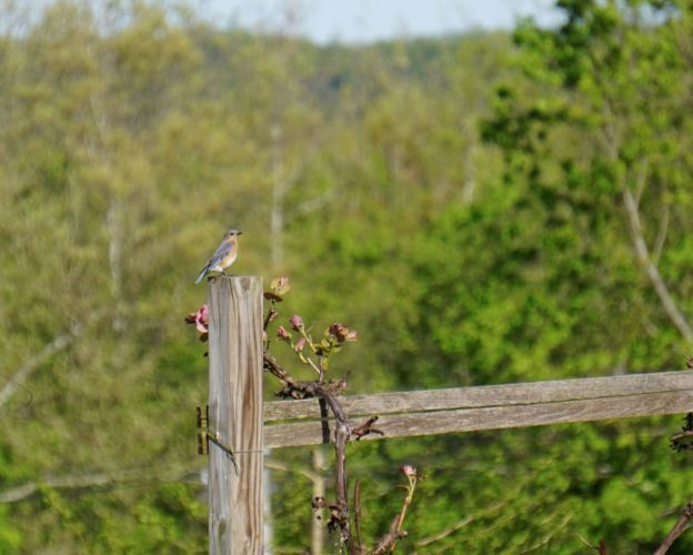 My ongoing challenge was to catch a Bluebird on one of the posts or plough-wheel before I left the farm.