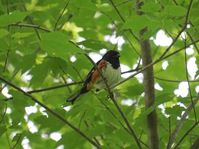 The Towhees were very active the last few days I was at Wilhelm Farm. I caught this mating pair in a relatively open portion of the woods.