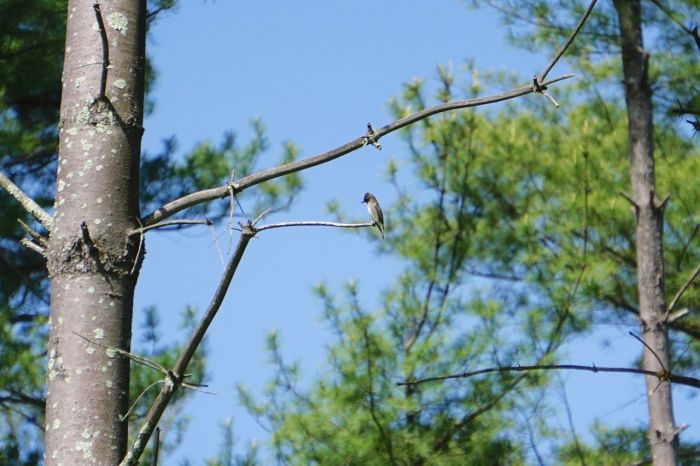 Another smaller bird that stayed up in the middle range branches throughout the edge of the woods.