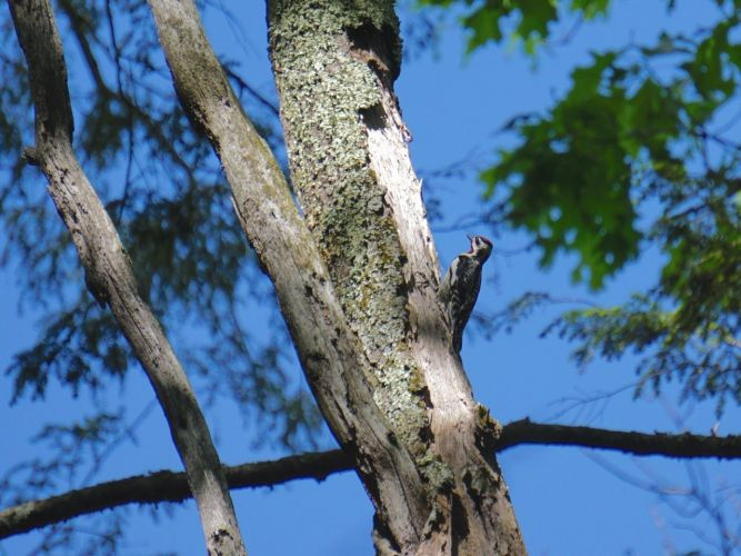 There are at least three (and possibly more) varities of Woodpecker that have been observed in the woods, but I didn't have much luck with photos. aside from this and a very lo-res snap of a Flicker. I did visually ID a Pileated Woodpecker.