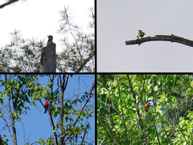 Clockwise from upper left: Northern Flicker, American Goldfinch, Scarlet Tanager (two views to confirm ID), another exciting sighting!