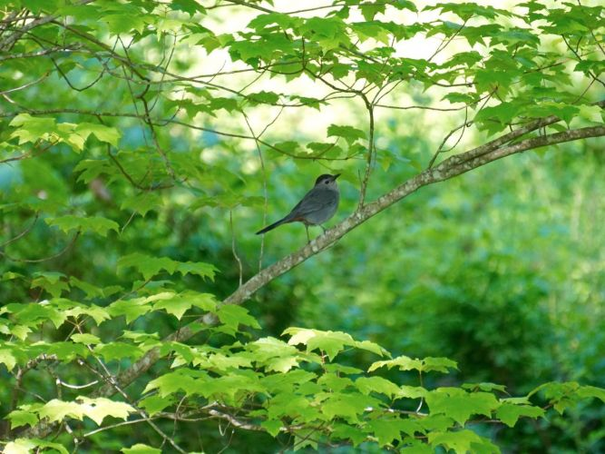 The Catbirds seemed to be one of the most curious birds, remaining at  safe distance, but tracking my movements and activities.