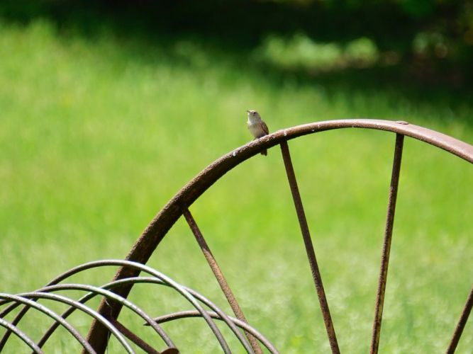 Another hoped for shot, a wren on a wheel.