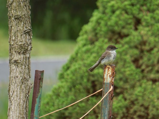 A pair of Phoebes had made a nest in the farm stand near the driveway.