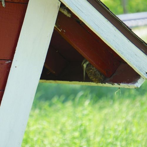 Apparently sometimes Phoebes also use old Barn Swallow nests, and vice versa.