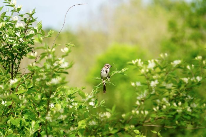 The Song Sparrow seemed to enjoy posing.